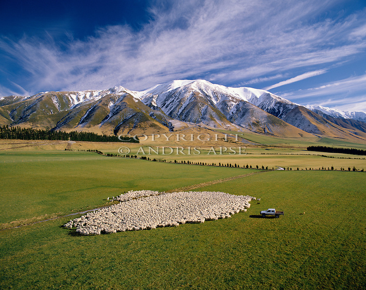 Mustering a large mob of sheep. Mount Hutt Station. Canterbury New Zealand.