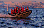 .Each november, hundreds of orcas (killer whales) enter the tysfjord, 200 km south of Narvik, hunting herrings. They stay all the winter in these cold waters.Some whale safari whale watching are organised aboard big boat or rubber boat. Tysfjord.  90 km south of Narwik. Norway...