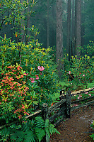 Western rhododendron<br />
