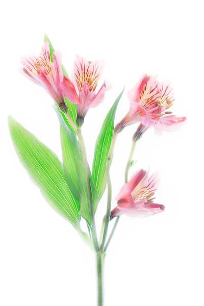 High-key image of pink tiger lilies.