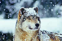 Gray Wolf (Canis lupus) during winter snow.