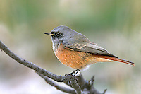 Eastern Black Redstart - Phoenicurus ochruros phoenicuroides - 1st winter male. Southeast Asian race of Black Redstart, with more extensive red on underparts and well defined dark 'bib'.