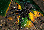 Earth Tiger, Haplopelma longipedum, on leaves, Tarantula, female.Thailand....