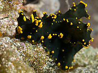 Nudibranch, Notodoris gardineri, South Ari Atoll, Maldives, Indian Ocean