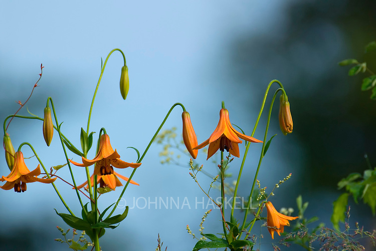 Orange Wild Lily on stream bank.
