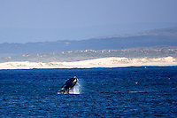 Southern Right Whale breaching off the coast at Kassiesbaai, South Africa