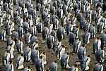 King penguin rookery, South Georgia Island