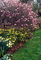 Magnolia x 'Jane' in spring bloom with daffodils & lawn