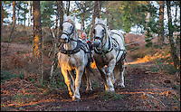 BNPS.co.uk (01202 558833)<br /> Pic: PhilYeomans/BNPS<br /> <br /> Robert Sampson's Percheron heavy horses have been brought in to help clear felled tree's from the hilly site of St Catherines hill in Dorset.<br /> <br /> The SSSI site is being cleared of some of its tree cover as part of a 9 year stewardship scheme to return the historic site to a more natural open heathland appearance.<br /> <br /> Heavy machinery is not allowed on the site so Robert's massive horses are perfect for a more enviromentally sound method of removing the heavy timber.