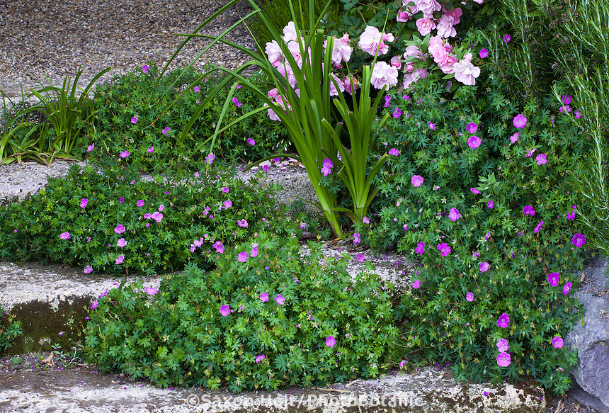 Flowering cranesbill Geranium sanguineum, sprawling groundcover in cracks of stone steps; Gary Ratway garden