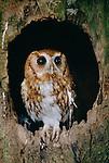 Eastern screech-owl, New York