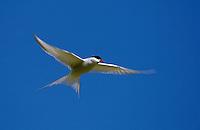 Küstenseeschwalbe, Küsten-Seeschwalbe, im Flug, Flugbild, Seeschwalbe, Sterna paradisaea, Arctic tern
