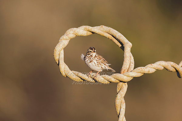 Savannah Sparrow (Passerculus sandwichensis), adult, Sinton, Corpus Christi, Coastal Bend, Texas, USA