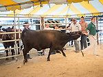Day 2 of the 78th Amador County Fair, Plymouth, Calif.<br /> <br /> <br /> Replacement Heifer Auction