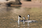 Lake Hodges, Escondido, San Diego, California; a young Western Grebe swimming with it's parents on the surface of the lake in early morning sunlight