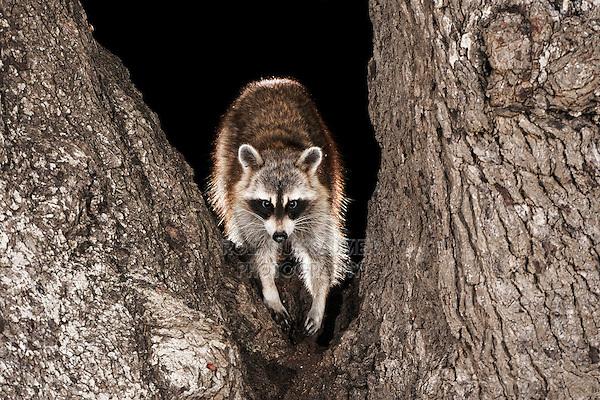Northern Raccoon (Procyon lotor), adult in oak tree, Dinero, Lake Corpus Christi, South Texas, USA
