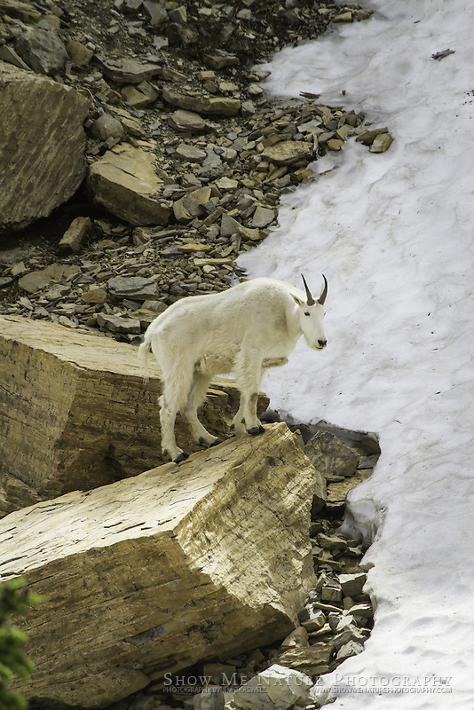 Mountain Goat on a boulder, overlooking a snowfield