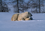 Polar bear and cub, Canada