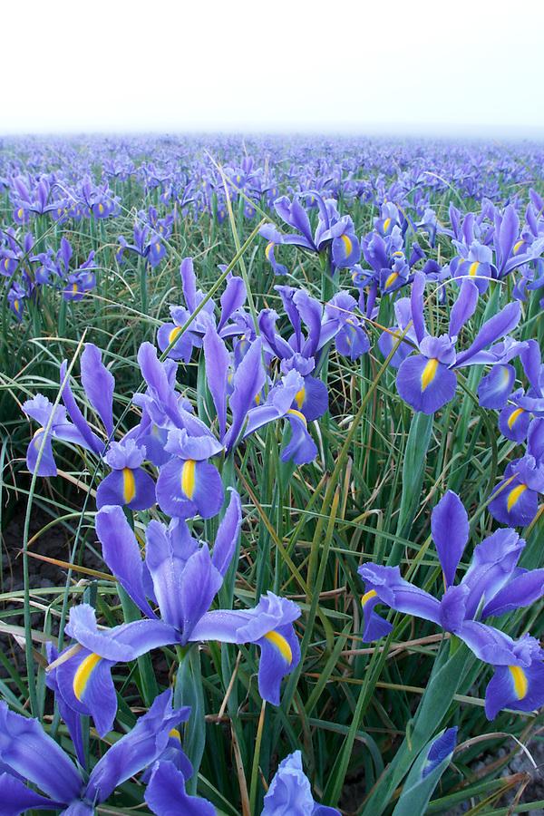 Field of blue iris on foggy morning, Mount Vernon, Skagit Valley, Skagit County, Washington, USA
