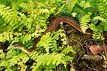 Red-sided Keelback (Xenochrophis trianguligerus), Tawau Hills Park, Sabah, Borneo, Malaysia