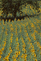 Europe/France/Aquitaine/24/Dordogne/Mussidan : Champs de tournesols