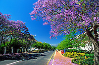 South Africa, near Cape Town, Winelands Stellenbosch: Jacaranda tree