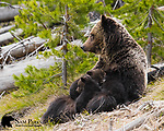 Grizzly bear sow nursing three young cubs. Yellowstone National Park, Wyoming.