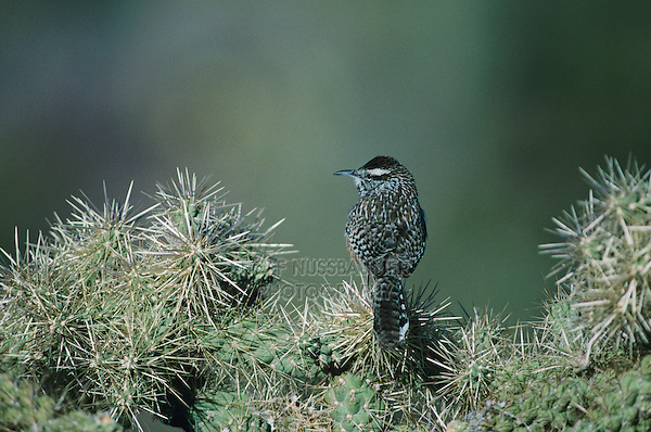 Cactus Wren, Campylorhynchus brunneicapillus, adult on cactus, Tucson, Arizona, USA, January 1995