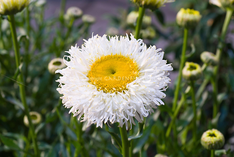 Leucanthemum real galaxy white flowers with yellow centre plant leucanthemum real galaxy fluffy daisies white with yellow center mightylinksfo Images
