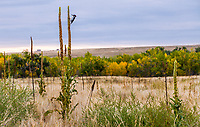 Bird feeding on Mullein seed head, Autumn landscape West Bijou Ranch, Strasburg Colorado; managed by Savory Institute,