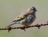 Female Lawrence's goldfinch