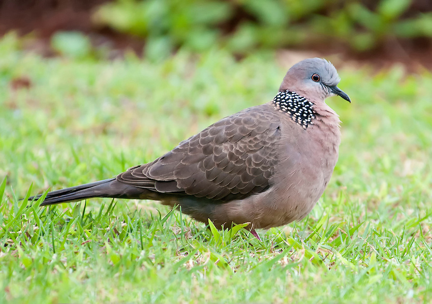 Spotted dove (Spilopelia chinensis) spotted at Princeville, Kauai, Hawaii