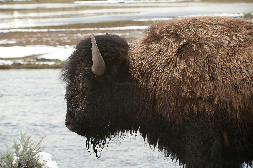 Profile head and shoulders of American Bison or Buffalo in Yellowstone National Park, Wyoming