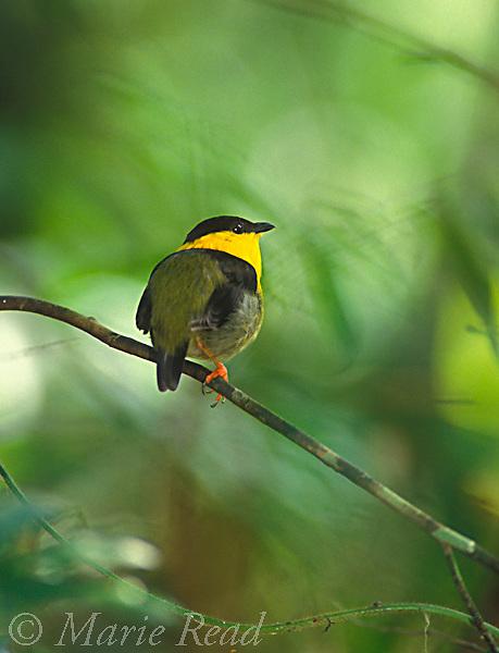 Golden-collared Manakin (Manacus vitellinus) male, Soberania National Park, Panama<br /> Slide # B103-100