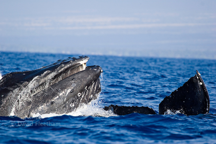 Humpback whale, Megaptera novaeangliae, showing baleen.  Hawaii.