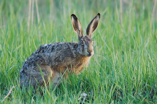 Brown Hare, Lepus europaeus, National Park Lake Neusiedl, Burgenland, Austria, April 2007
