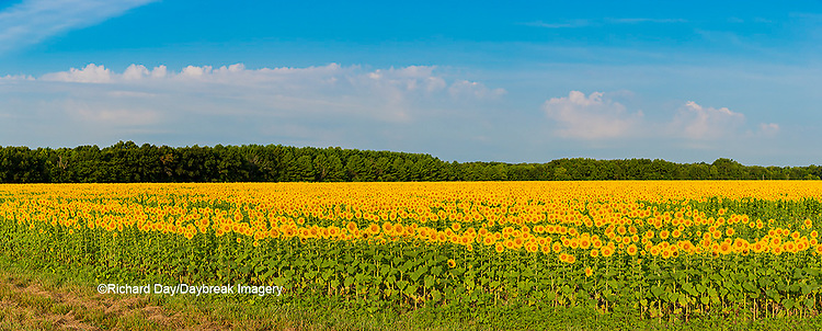 63801-06902 Sunflower field Sam Parr State Park Jasper County, IL