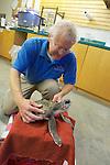 Bob Prescott Examining Olive Ridley Sea Turtle, Sanctuary Director, Welfleet Bay Wildlife Sanctuary, Audubon