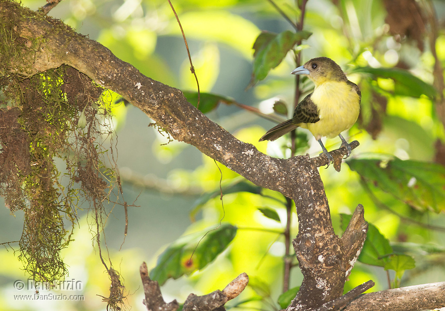 Female lemon-rumped tanager, Ramphocelus icteronotus, in Tandayapa Valley, Ecuador