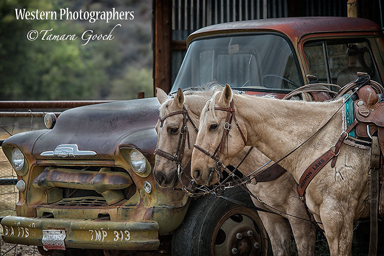 A photo of two palomino horses standing next to a vintage truck.