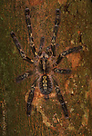 Tarantula Spider, Tranvacore Slate Red, Poescilotheria rufioata, on tree, aboreal, .India....
