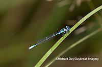 06101-00116 Azure Bluet (Enallagma aspersum) male in wetland Marion Co. IL