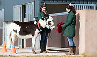 BNPS.co.uk (01202) 558833. <br /> Pic: CorinMesser/BNPS<br /> <br /> Taking it in his stride... a donkey takes the tinsel test. <br /> <br /> A donkey sanctuary is running its own 'finishing school' to help the animals adjust to the outside world once they are re-homed.<br /> <br /> The 12 week program, initiated by The Donkey Sanctuary in Sidmouth, Devon, is believed to be the first of its kind in Britain.<br /> <br /> Activities include walking under bunting, navigating traffic cones and getting used to people carrying umbrellas.<br /> <br /> There are also tutorials on feeding, grooming and handling for the donkeys' prospective guardians.<br /> <br /> The initiative started in November 2019, with a current intake of 31 donkeys. Eight donkeys having already gone to homes.