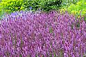 Salvia nemorosa 'Amethyst', end June.