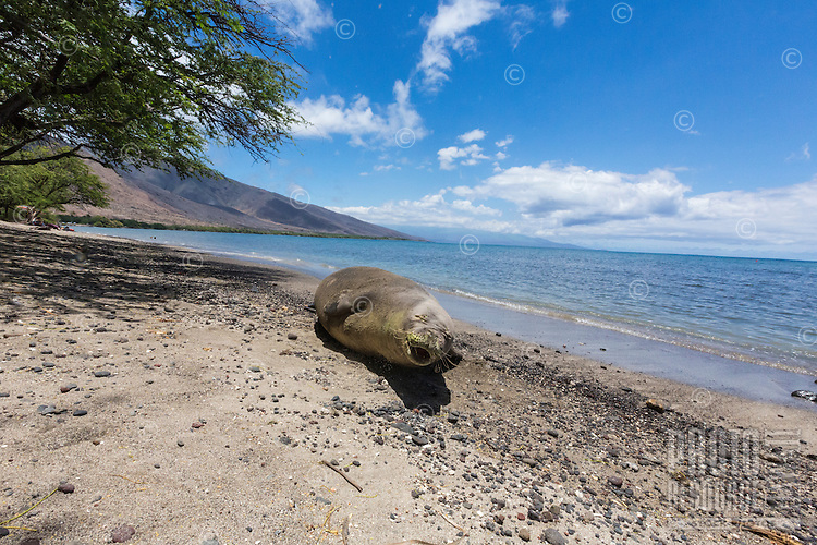 A Hawaiian Monk Seal rests on the beach at Olowalu, Maui.