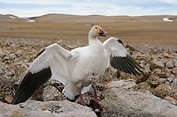 Adult female Snow Goose (Chen caerulescens) of the Eastern subspecies C. c. atlantica in nest defense. Bathurst Island, Nunavut, Canada. June.