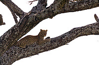 Leopard, Serengeti National Park, Tanzania, East Africa