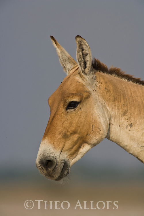 Dominant male Indian wild ass (Equus hemionus khur), portrait, close-up, dry season