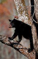 A Black bear cub on tree limb.