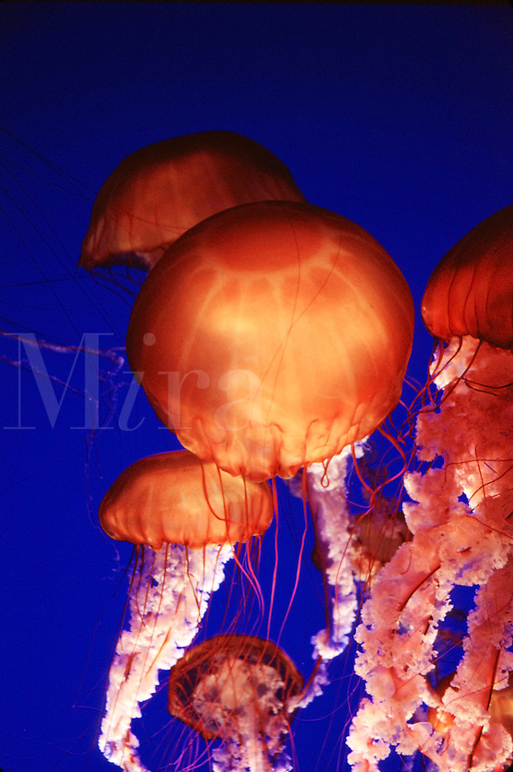 Jellyfish.(family Pelagiidae)